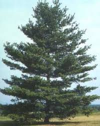 white pine trees white pine tree white pine bed