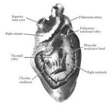 Sheep Heart Anatomy Quiz Carolina Mammal Heart Dissection Carolina Com Dissection