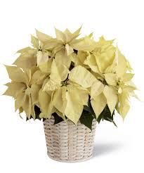 white poinsettia white poinsettia basket same day delivery uniontown pa