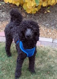 poodles long hair in winter long and undocked tails on poodles poodle forum standard poodle