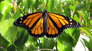 monarch mania monarch butterfly life cycle youtube