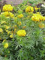 list of indian state flowers wikipedia