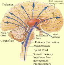 What Is The Main Function Of The Medulla Oblongata What Is The Function Of Reticular Activating System