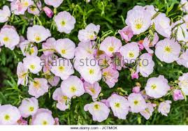Pink Primrose Flower - evening primrose flower stock photos u0026 evening primrose flower