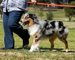 australian shepherd in california dogbreedz photo keywords 101 dog show photos