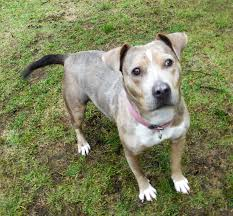 american pitbull terrier traits view ad american pit bull terrier catahoula leopard dog mix dog