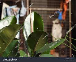Ficus Elastica Rubber Fig Bush Plant Stock Photo 659535247