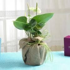 indoor plants india indoor plants online buy indoor plant indoor plant india