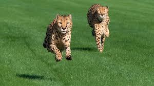 houston zoo cheetahs run at sam houston race park youtube