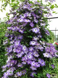 cloudburst u0027 syn starburst summer blooming purple clematis