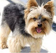 silky terrier with haircut silky terrier breed information pictures australian silky