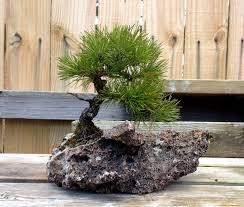 shohin bonsai around my garden 2 japanese bonsai pots blog