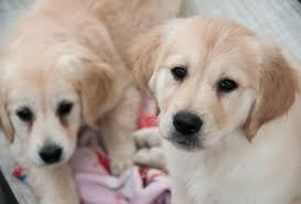 Comfort Golden Retriever Breeders Licking Their Wounds Trained Dogs Assist Comfort Wounded Airmen