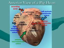 External Heart Anatomy Human Anatomy And Physiology The Cardiovascular System 1