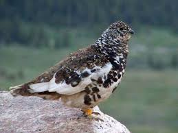 Montana birds images Birds of montana white tailed ptarmigan insights and information jpg