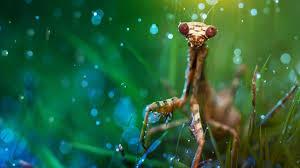 praying mantis eating spider wallpaper