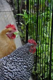 143 best chickens images on pinterest raising chickens backyard