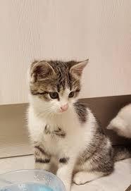 Bad Bergzabern Plz Britisch Kurzhaar Mix Kitten Bad Bergzabern Weibliche