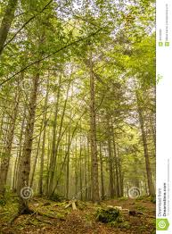 slim green trees in a forest stock photo image 60128390