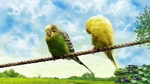 50 love birds wallpaper