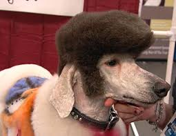 standard poodle hair styles pet stylists super show creative grooming competition photos