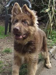 australian shepherd german shepherd best 20 german shepherd adoption ideas on pinterest german