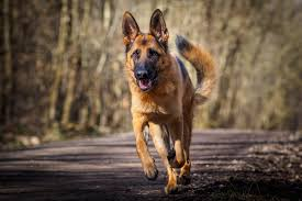 youtube lexus german shepherd 43 german shepherd wallpapers