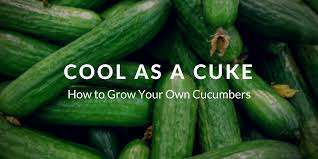 how to grow cucumbers that you u0027ll crave
