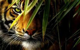 cats cats cat predator tiger nature jungle