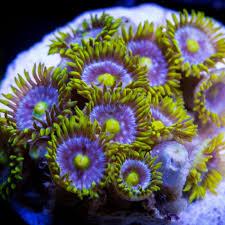 led lighting for zoanthids yr blue iris zoanthids 8 polyps