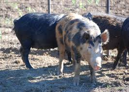 Mississippi wild animals images Wild pigs increase range threaten native wildlife mississippi jpg