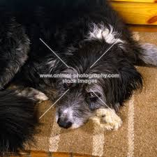 bearded collie and border collie mix animal photography border collie cross bearded collie portrait