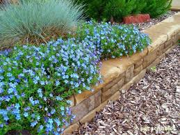 blue perennial flowers try lithodora an update with new images
