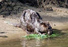 Arkansas wild animals images Small mammals of arkansas trails of arkansas now california jpg
