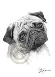 pencil drawing of a young pug by artist gary tymon