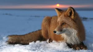 wonderful hd wallpapers of fox animal free download high