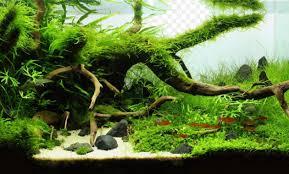 Aquascaping Plants 3 Plants Are Often Used In The Aquascape Aquascaper