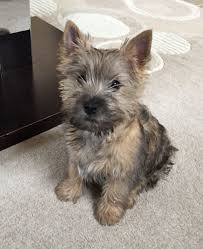 brindle cairn haircut pin by martha watson on cairn crazy pinterest cairn terriers