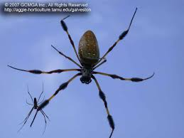 beneficial spiders in the landscape 49 banana spider nephila