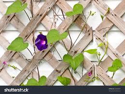 beautiful morning glory flower vines growing stock photo 35889001