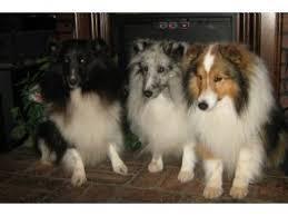 belgian sheepdog oklahoma shetland sheepdog puppies in oklahoma