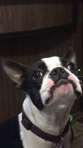 Boston Terrier Flag 3499 Best Boston Terriers Images On Pinterest Doggies Dogs And