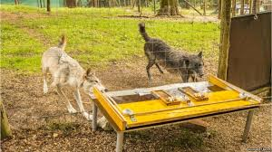 A Wolf At The Table Big Bad Wolf U0027 Image Flawed Scientists Bbc News