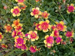 High Heat Plants Portulaca Umbraticola U0027all Aglow U0027 Portulaca Moss Rose