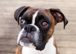 boxer dog gum problems face nerve paralysis in dogs petmd
