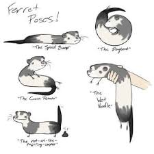 Ferret Meme - 33 best ferret fun images on pinterest ferrets funny ferrets