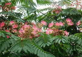 silk tree albizia julibrissin seeds 60pcs ornamental