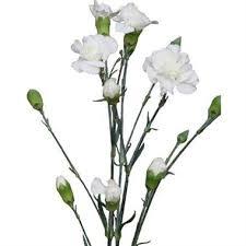 Wholesale Carnations Spray Carnations Wholesale Flowers U0026 Florist Supplies Uk