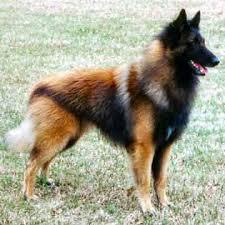 belgian sheepdog traits belgian tervuren dog breed