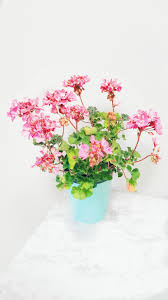 Flowers Plants by House Plants 3 Flowering Plants Carla Bethany